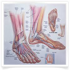 Foot Anatomy Nerves Foot Anatomy Foot Pain Foot Pain Relief Foot Pain Heel Hallux