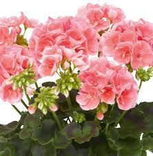 geranium survivor mixed pohlmans phone 07 5462 0477