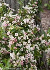 sonic bloom pearl reblooming weigela weigela florida proven