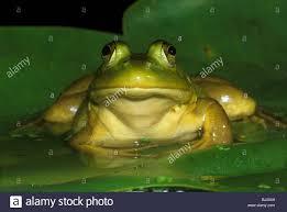 bullfrog rana catesbieana on water lily pad eastern usa stock