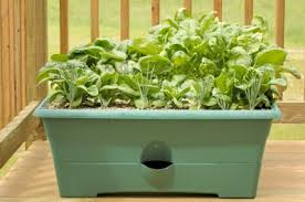 growing spinach in containers u2013 learn about the care of spinach in
