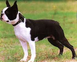 american pitbull terrier size chart boston terrier wire basket dog muzzles size chart boston terrier