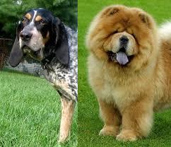 bluetick coonhound lab mix puppies for sale geoffreymarsh com bluetick rottie