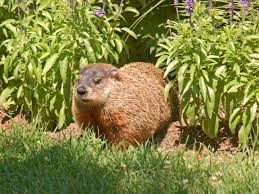 groundhog facts interesting trivia woodchuck whistle