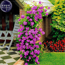 online get cheap climbing fragrant roses aliexpress com alibaba