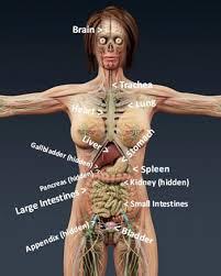 Female Anatomy Organs The Human Body Diagram Main Organs Of The Body Diagrams Of