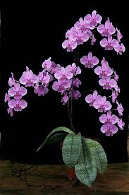 Orchid Flower Pic - 2027 best orchids orchidaceae images on pinterest plants