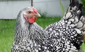 Backyard Chicken Laws by More Twin Cities Suburbs Allowing Chickens In Backyards Gomn