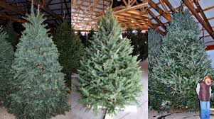 tree farm choose cut your own living or pre cut shop