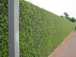 hedging plants budget wholesale nursery hedged walls hedge u2013 some of it rising from the top of a stone