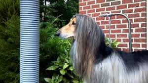 afghan hound puppies youtube axel the afghan hound gets a new puppy youtube youtuber utube