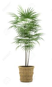 palm tree in pot isolated on white background stock photo picture