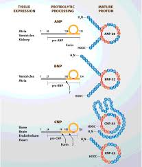 the natriuretic peptides system in the pathophysiology of heart