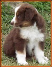australian shepherd 6 weeks old jessie u0027s litter 2 pup5 blue eyed bet red tri female miniature