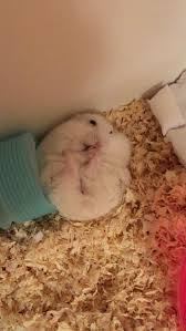 best 25 cute hamsters ideas on pinterest cute hamster names
