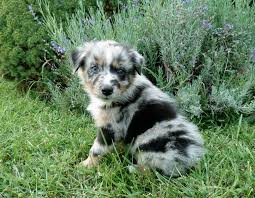 australian shepherd indiana australian shepherd puppies for sale