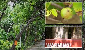 manchineel the world s most dangerous tree can kill you travel