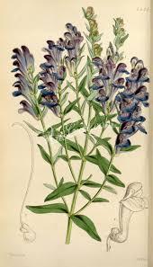91 Best Burdock Klis Gobo Images On Pinterest Medicinal