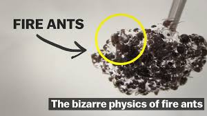 the bizarre physics of fire ants vox