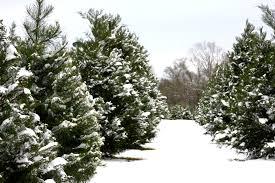 cut your own christmas tree farm review van vagabonds