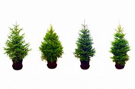 live christmas trees rent a living christmas tree this year inhabitat green design