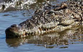 mexico crocodile bites off american tourist u0027s arm report says