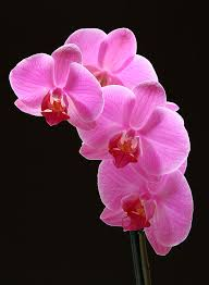 pink orchids pink orchids photograph by juergen roth