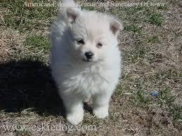 care for american eskimo dog 25 best american eskimo puppy ideas on pinterest american