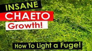 best led refugium light insane chaeto algae growth how to light your refugium with
