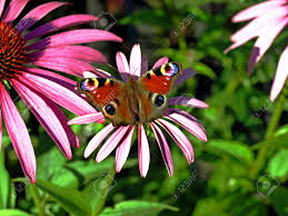 close up of a peacock butterfly on a cone flower stock photo