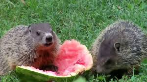 groundhogs eating watermelon youtube