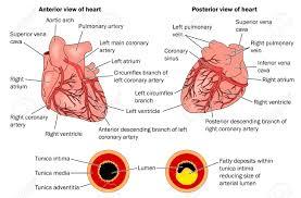 Heart Anatomy Arteries 16 754 Heart Anatomy Stock Vector Illustration And Royalty Free