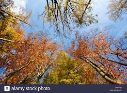autumn colored trees on blue sky view from ground to top stock