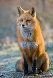 sleeping red fox wallpapers google image result for http www ywguiding com images red fox