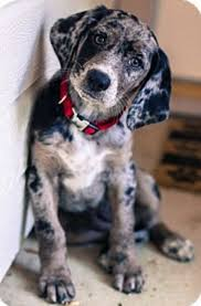 bluetick coonhound with cats bluetick coonhound lab mix dear god i u0027m in love with this face