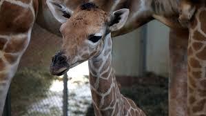 cheyenne mountain zoo u0027s baby giraffe going outside cbs denver