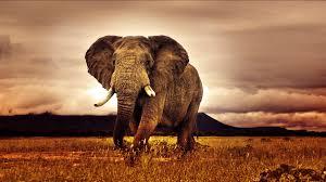 giant elephant desktop background hd 1920x1080 deskbg com