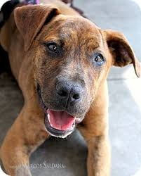 american pitbull terrier mix harriet adopted puppy los angeles ca boxer american pit
