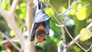 mammiferi volanti volpi volanti un grande pollame nocturnal giorno di riposo a