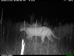 camera trap image of florida panther brings new hope to