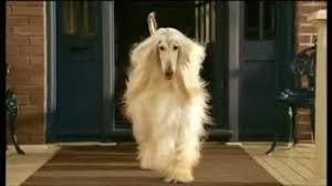 afghan hound lifespan afghan hound poochpedia fandom powered by wikia
