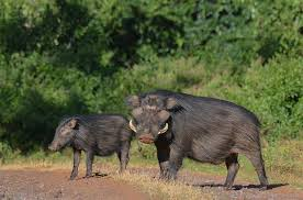 giant forest hog facts history information amazing