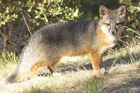 California wild animals images Foxes on one of california 39 s channel islands have least genetic jpg