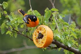 how to keep birds away from patio make an orange feeder for orioles audubon