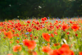red poppy flower garden free image peakpx
