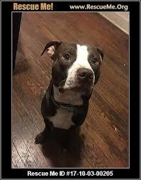 american pitbull terrier kennels in michigan michigan pit bull rescue u2015 adoptions u2015 rescueme org
