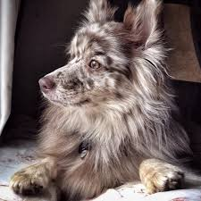 pomeranian x australian shepherd for sale the 543 best images about adorable animals on pinterest animals