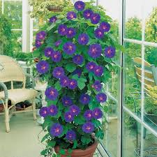 glorious morning glories