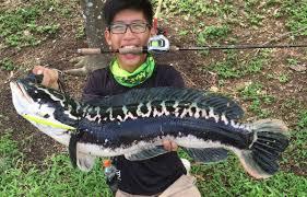 freshwater fish 5 types of freshwater fish in singapore part 1 u2013 oceanicworksfishing