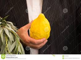 etrog for sale the etrog stock photo image 98104928